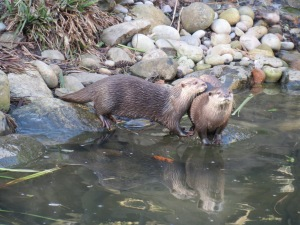 The pair of otters in an intimate moment at the London Wetland Centre 2014
