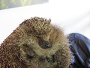 Alfie the Hedgehog at the London Wetland Centre Feb 2014